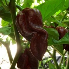 Devil's Tongue Chocolate Chilli Seeds